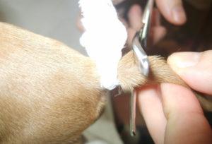 Купирование хвостов у щенков