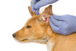 Чистить уши собаке