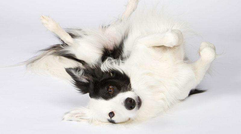 Как можно научить собаку команде «Умри»