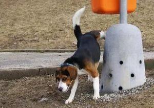 Отучить собаку метить территорию