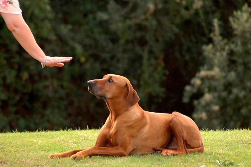 Как правильно обучить собаку командам в домашних условиях