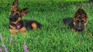 Воспитывать щенка немецкой овчарки