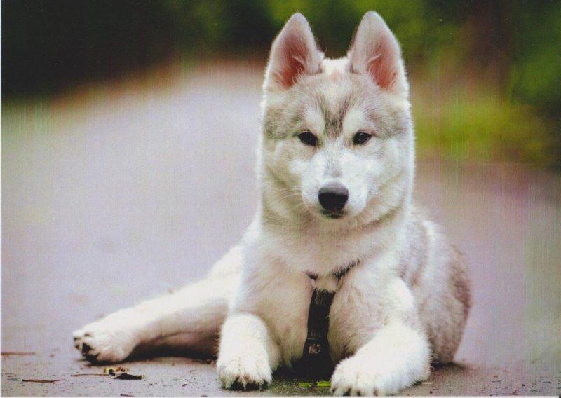 Какие самые лучшие клички для собак для хаски мальчика или девочки