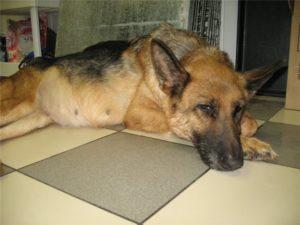 Вздутие желудка и живота у собаки