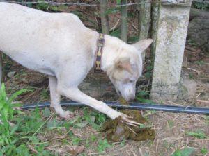 Собака ест чужой кал