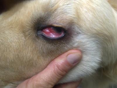 почему у щенка красные белки глаз