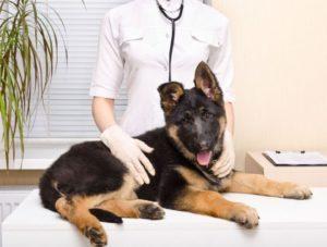 Дисплазия задних конечностей у собак