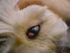 Геморрой у собак
