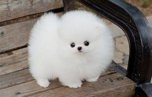 Белая и пушистая собака