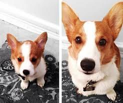 a1aa1ddd40b38 До какого возраста растут собаки мелких, средних и больших пород?