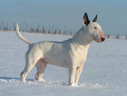 порода собак с вытянутой мордой