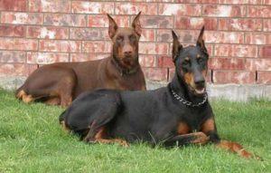 Какие лучшие породы собак для охраны частного дома