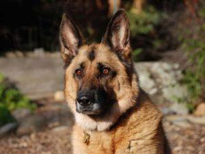 Собаки для охраны дома на улице