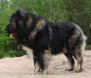 лучшие породы собак для охраны