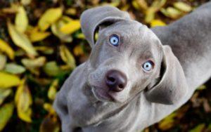 Какие существуют породы собак с голубыми глазами