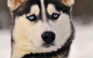 Голубые глаза у собаки и сопутствующие проблемы