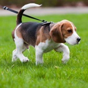 Как можно приучить собаку к поводку