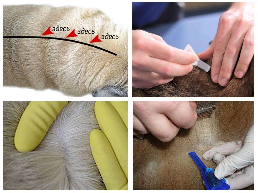 Как применять Стронгхолд для собак