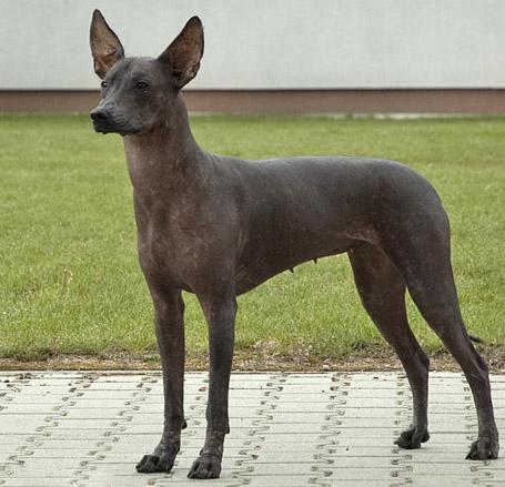 Описание и характер мексиканской лысой собаки