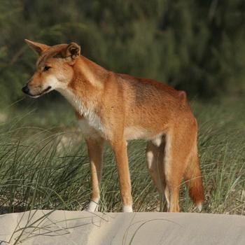 Описание и характер породы собак динго