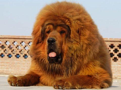 Описание и характер породы собак тибетский мастиф