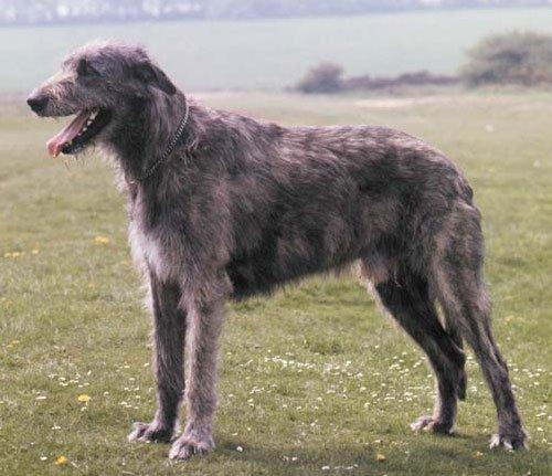 Описание и характер собаки волкодава