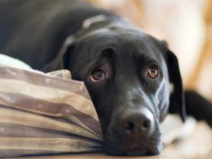 Почему собака теряет сознание и как ей помочь