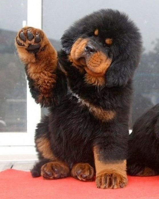 Какая существует самая дорогая порода собак в мире