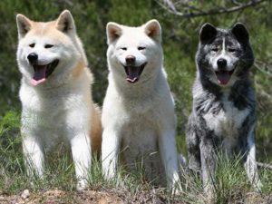 Характер и описание собаки породы акита-ину