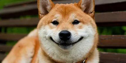 Какая есть порода собаки, похожая на лису