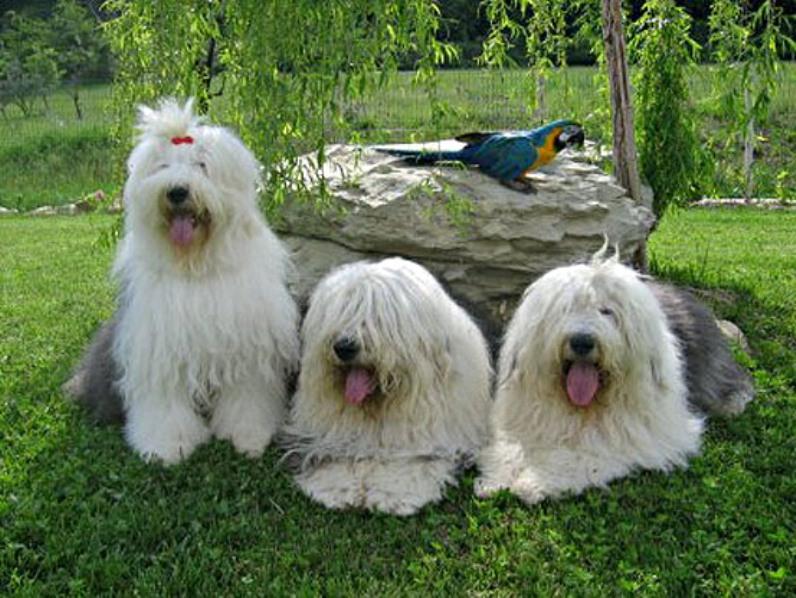 Описание и характер породы собак бобтейл