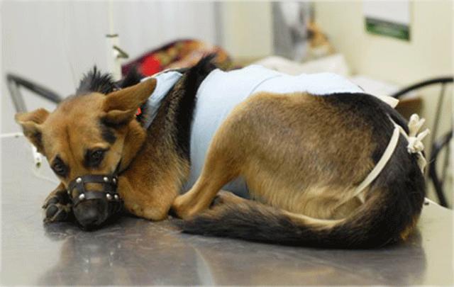 Плюсы и минусы стерилизации собак и когда ее проводят