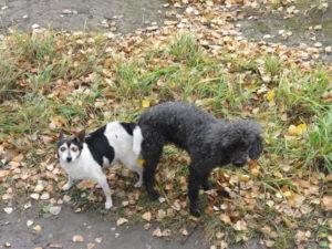 Собаки слипаются во время спаривания