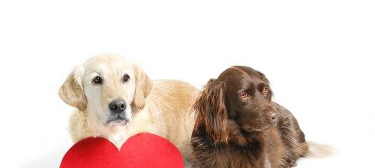Симптомы и лечение сердечной недостаточности у собак