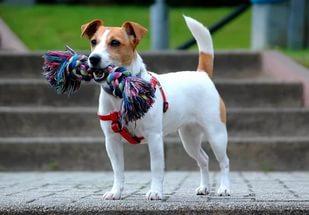 Характер и описание собаки джек-рассел-терьер