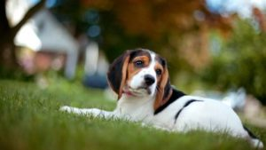 анаплазмоз у собак