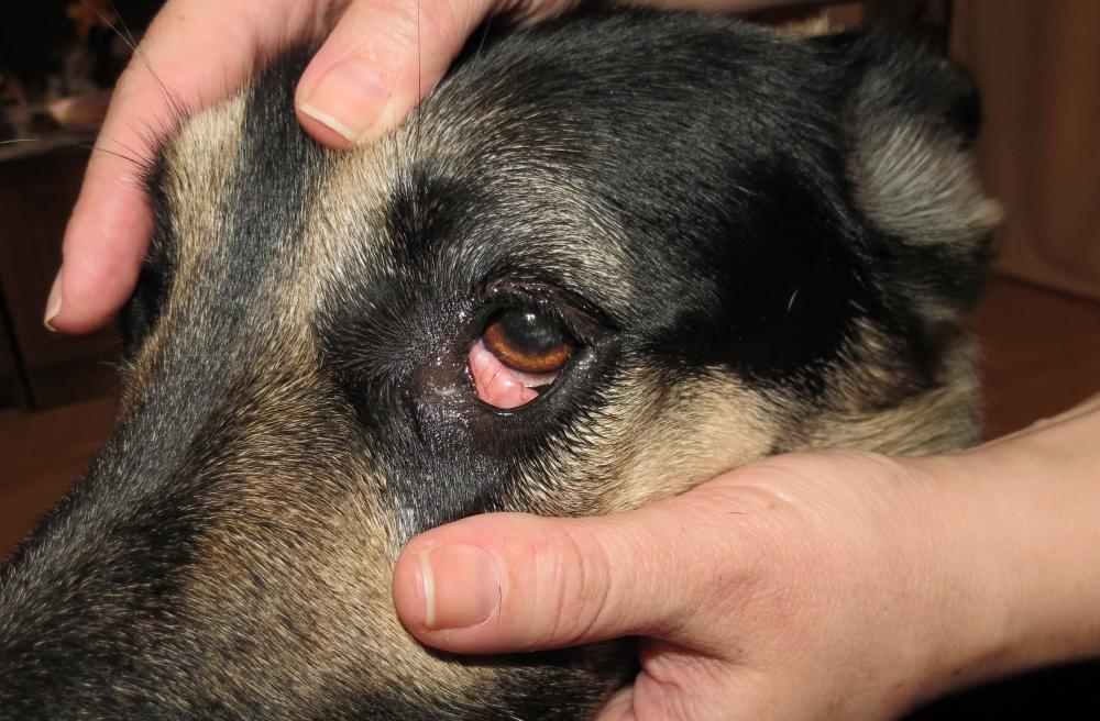 Симптомы и лечение воспаления третьего века у собак