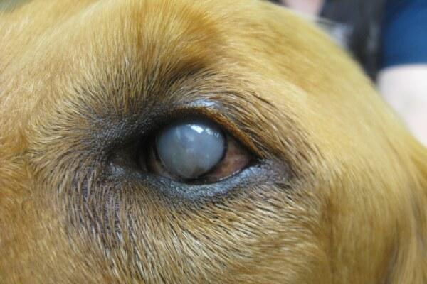 Как лечить бельмо на глазу у собаки