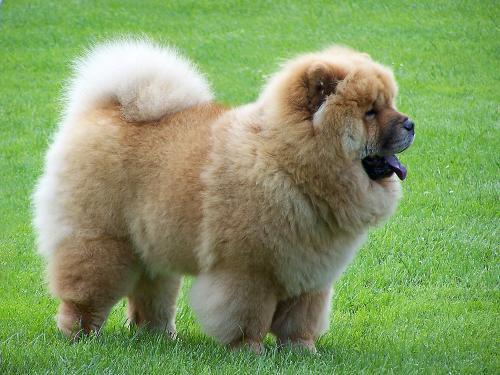Какие существуют пушистые породы собак