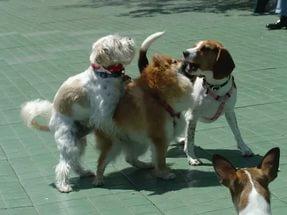 На какой день течки нужно вязать собаку йорка