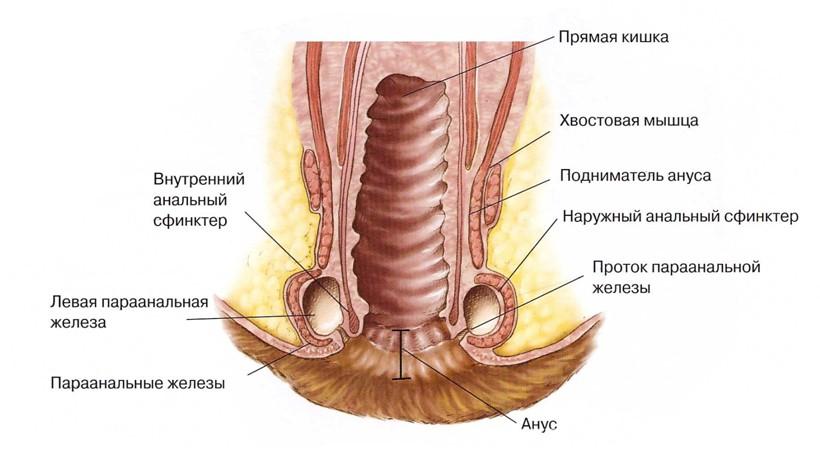 Воспаление параанальных желез у собак симптомы и лечение