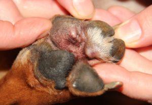 лечение пододерматита у собак