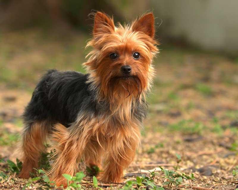 порода собак йоркширский терьер фото магазин термобелья это