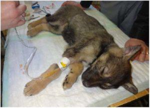 лечение парвовирусного энтерита у собак