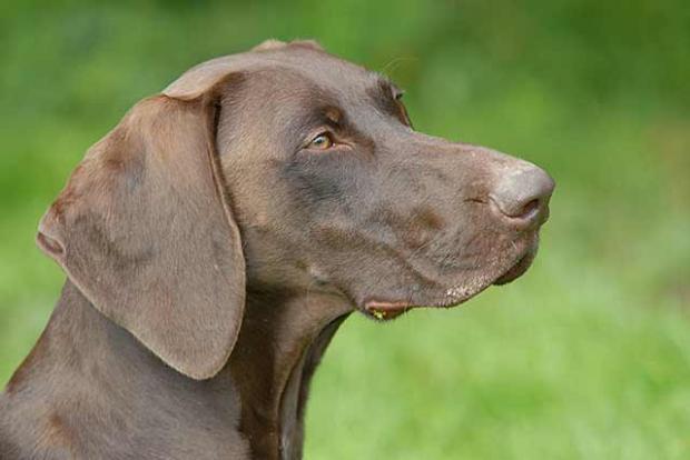 цена порода собак курцхаар фото