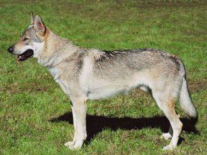 Характер и описание чехословацкой волчьей собаки