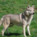 Характер чехословацкой волчьей собаки