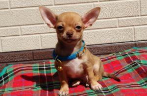 Когда и как делать прививки собакам породы чихуахуа