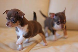 как делать прививки собакам породы чихуахуа