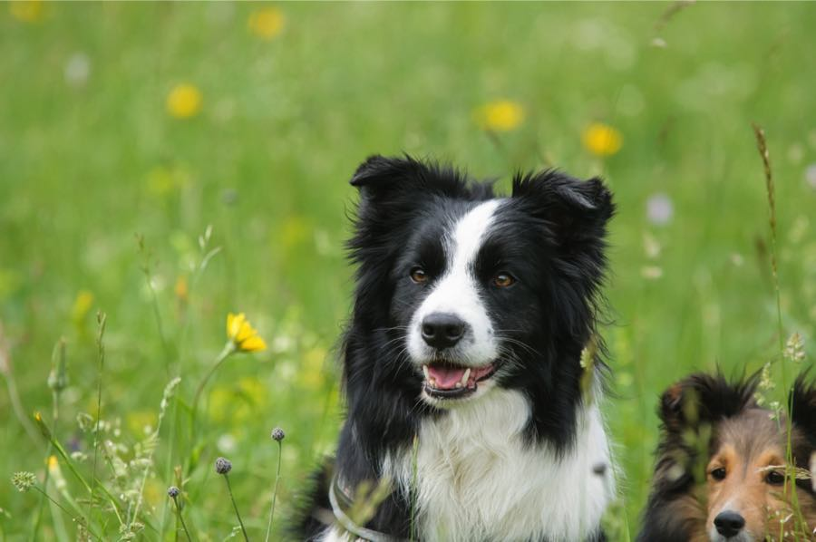 Каким должен быть уход и содержание за собакой породы бордер-колли